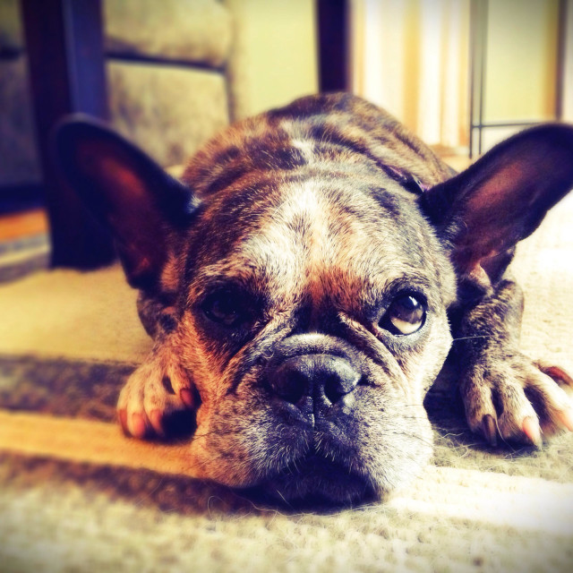 """""""A french bulldog looking guilty."""" stock image"""
