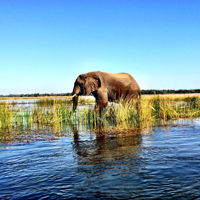 """African elephant in Zambezi River"" stock image"