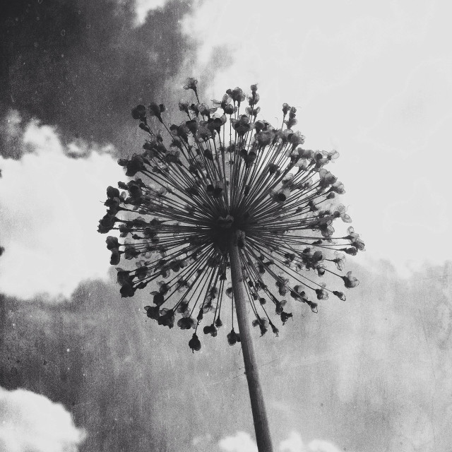 """""""Allium seed head silhouetted against the sky"""" stock image"""
