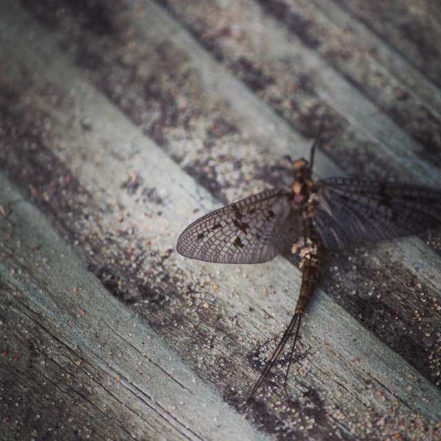 """""""Mayfly in Michigan resting on a wooden step"""" stock image"""