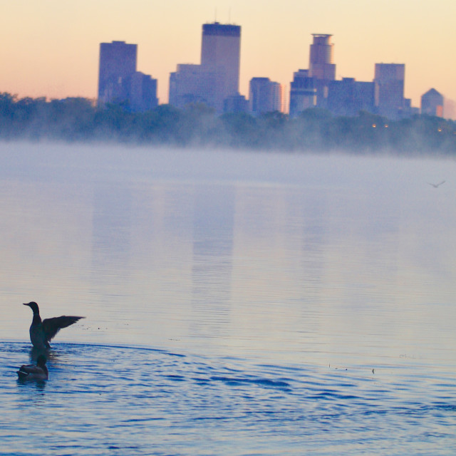 """Minnesota Duck"" stock image"