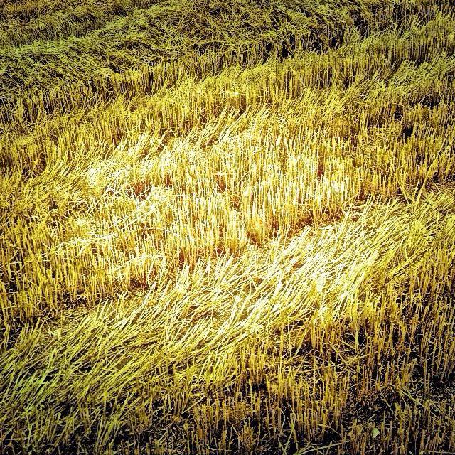 """Wheat Stubble"" stock image"