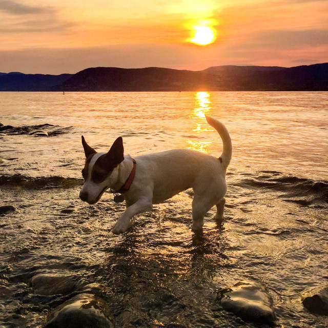 """Small dog at the beach during sunset. Jack Russell Terrier dog standing knee-deep in the lake water, with the setting sun behind her."" stock image"