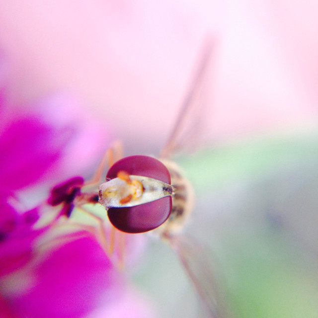 """Hover fly on a allium flower"" stock image"