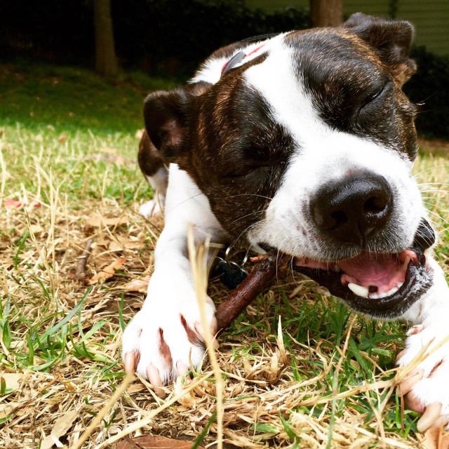 """""""Dog chewing on a stick"""" stock image"""
