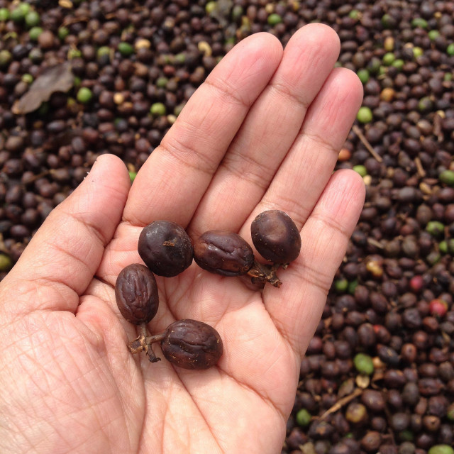 """""""freshly picked coffee berries drying in the sun in India"""" stock image"""