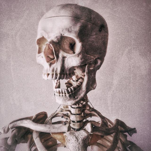 """""""Anatomical skeleton"""" stock image"""