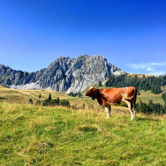 """""""A cow with the Gastlosen in the background."""" stock image"""
