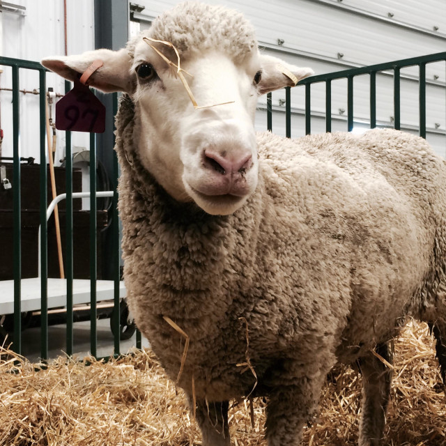 """""""Sheep with straw strands on its head"""" stock image"""