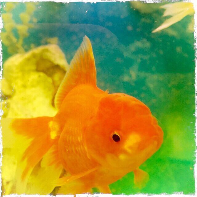 """""""Goldfish closeup"""" stock image"""