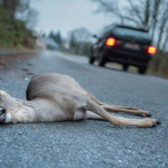 """Dead deer on road killed in traffic collision"" stock image"