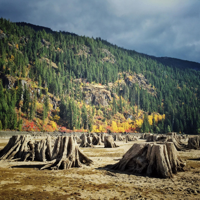 """exposed tree stumps during draught in lake Kachees in western Washington"" stock image"