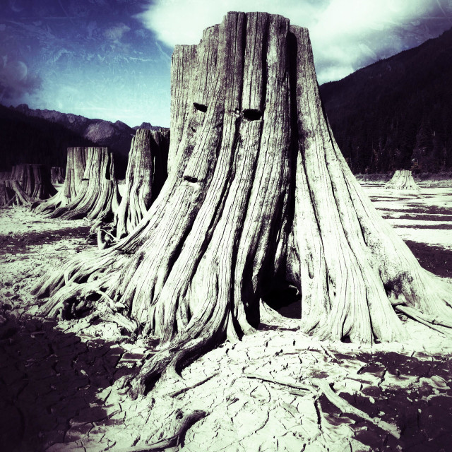 """Exposed tree trunks on the bottom of Lake Kachees in Eastern Washington"" stock image"