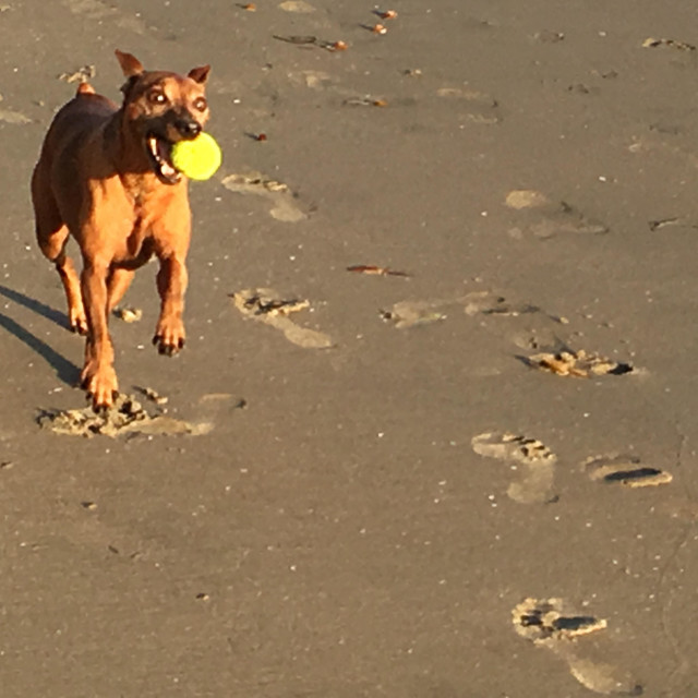 """""""A Miniature Pinscher enthusiastically playing fetch with a yellow ball on the beach"""" stock image"""