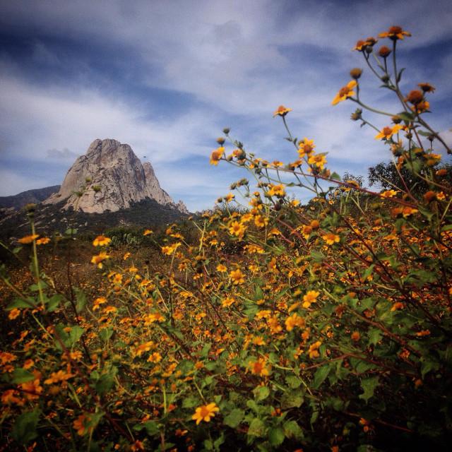 """""""A wild daisies field and the Peña de Bernal monolite mountain in Peña de Bernal, Queretaro, Mexico"""" stock image"""