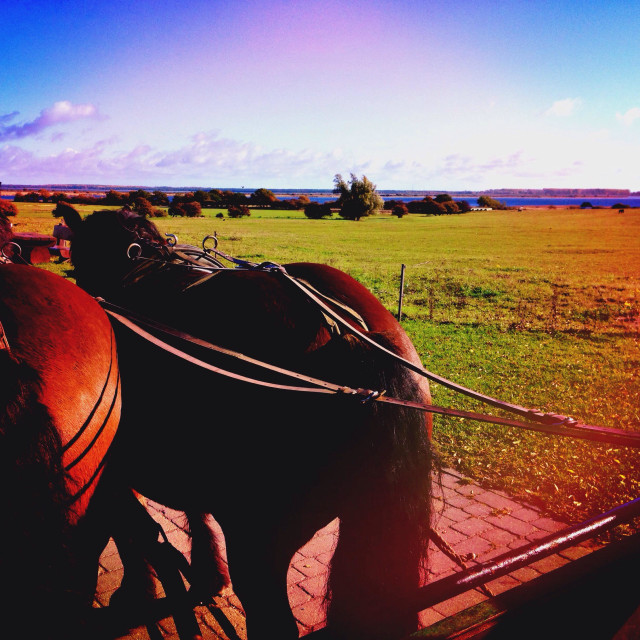 """Coach horses hitched to a carriage, view from the coachman's seat over meadows on the German island Hiddensee"" stock image"