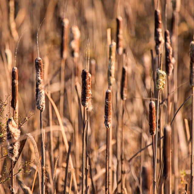 """Cattails at a Marsh"" stock image"