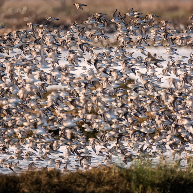 """Flock of Birds Flying Near a Marsh"" stock image"