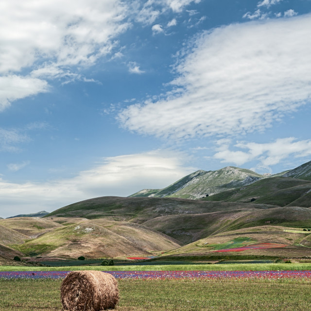 """""""The flowering of Castelluccio under a blue sky"""" stock image"""
