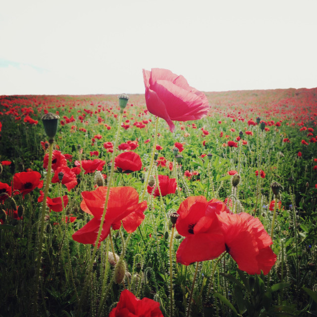 """""""A field of poppies."""" stock image"""