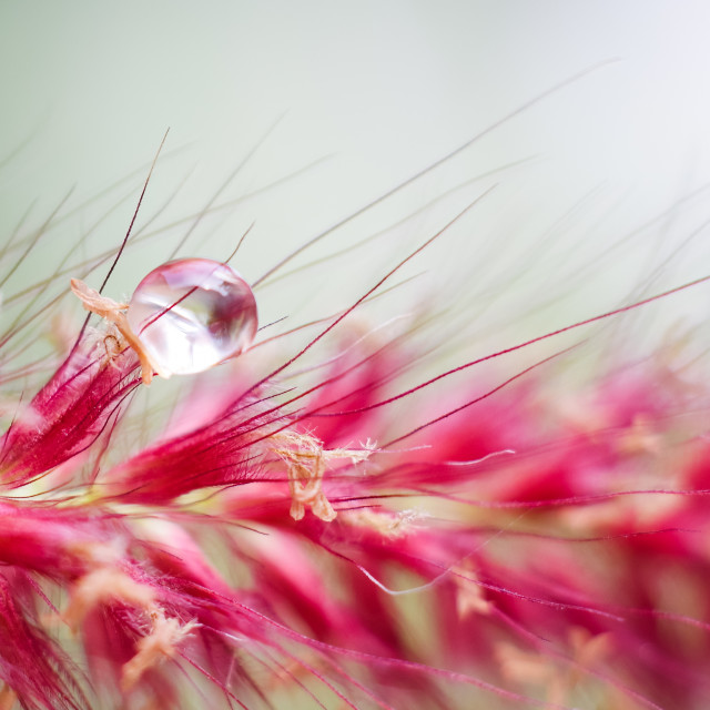 """Drop of water on grass flower"" stock image"
