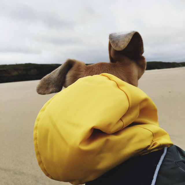 """""""Dog in a yellow hoody on the beach"""" stock image"""