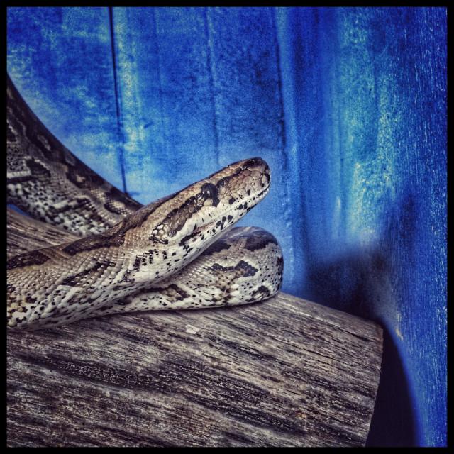 """Snake in glass enclosure.( African rock python, Python sebae)"" stock image"
