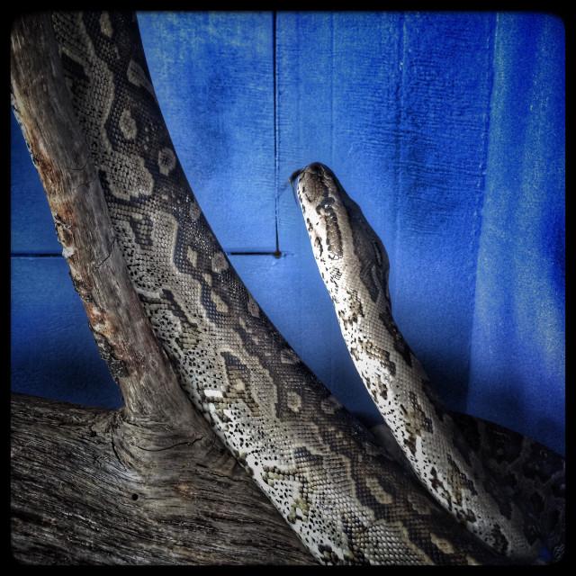 """Snake in glass enclosure. (African rock python, Python sebae)"" stock image"