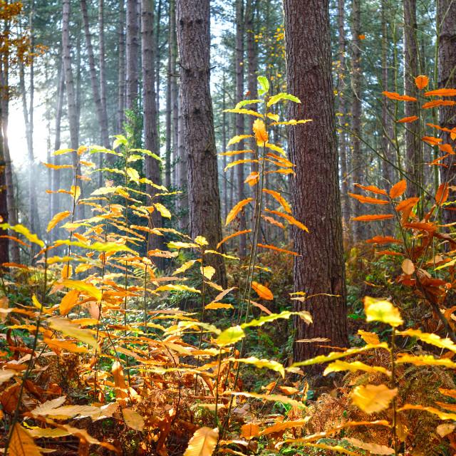 """Sherwood Pines,Nottinghamshire."" stock image"