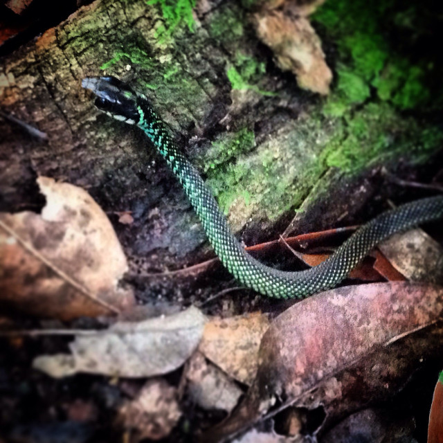 """""""A non-poisonous snake in the jungle near the Mayan city of Mirador, Peten, Guatemala"""" stock image"""