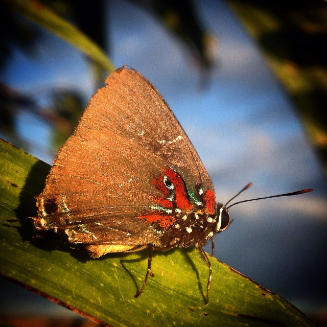 """""""A butterfly with an eye painted in its wings perchs in the Mayan city of Mirador, Peten, Guatemala"""" stock image"""