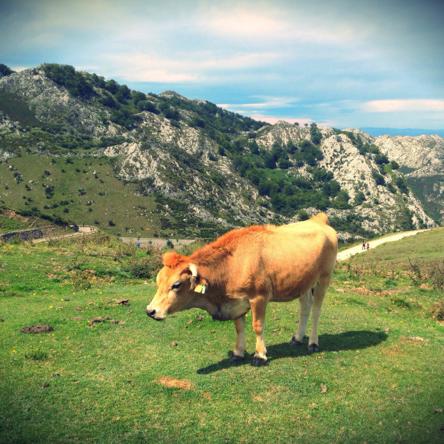 """Cow in a pasture at Covadonga Lakes in Picos de Europa, Asturias - Spain"" stock image"
