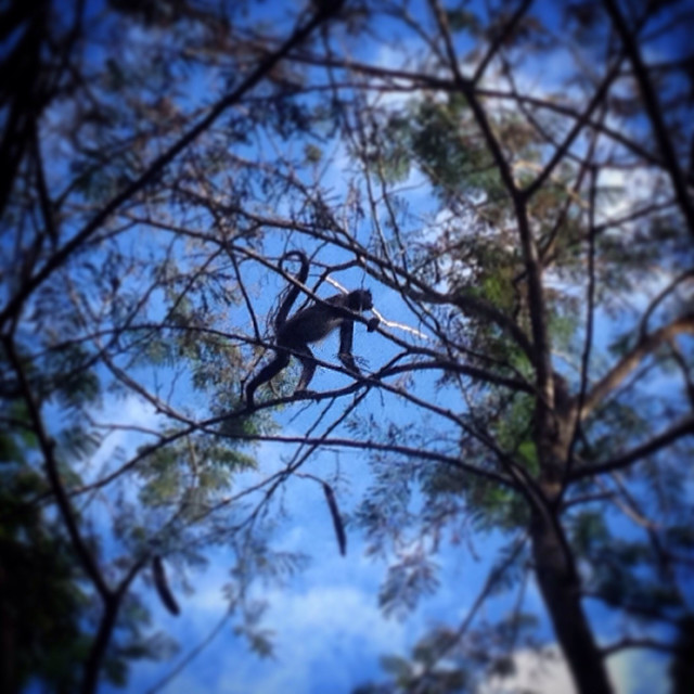 """""""A spider monkey walks in a tree in the Mayan city of Tikal, Peten, Guatemala"""" stock image"""