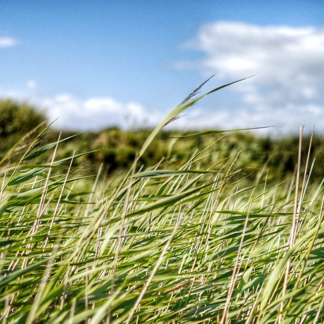 """Wind in the Reeds"" stock image"
