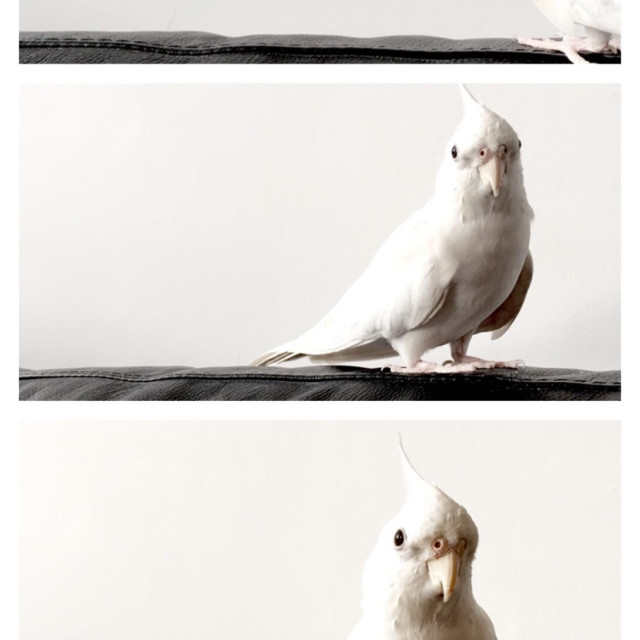 """Three photos of albino cockatiel"" stock image"