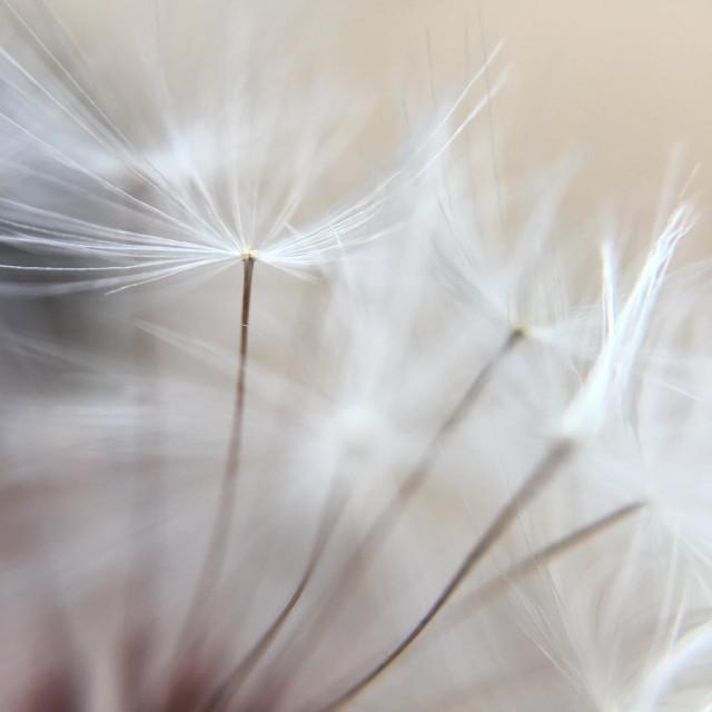 """Dandelion seeds"" stock image"