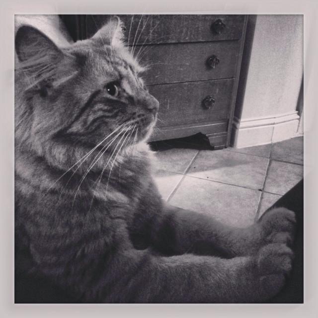 """""""Fluffy stripy ginger cat in black & white"""" stock image"""