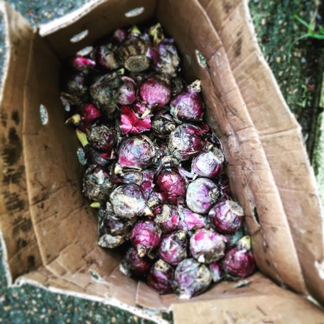 """""""Bulbs before planting at Kingston Environment Centre, kingston Upon Thames, Surrey."""" stock image"""