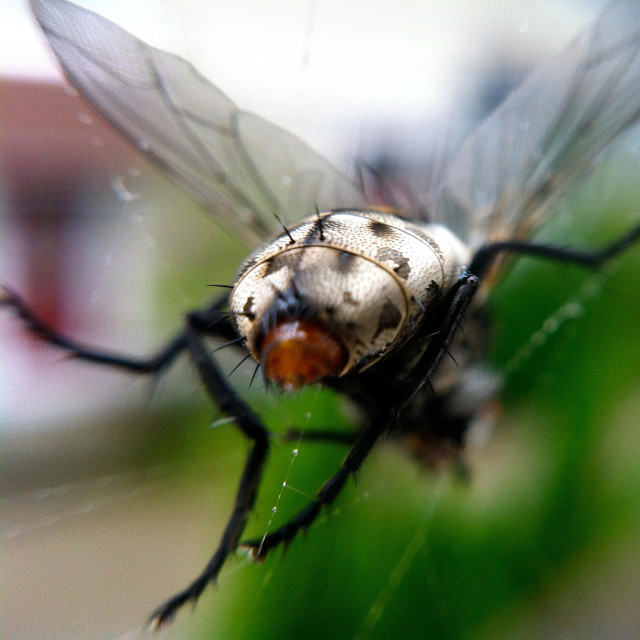 """House fly caught in spider web"" stock image"