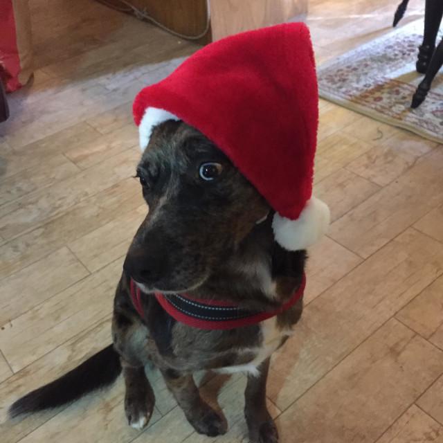 """Unhappy Christmas Dog"" stock image"