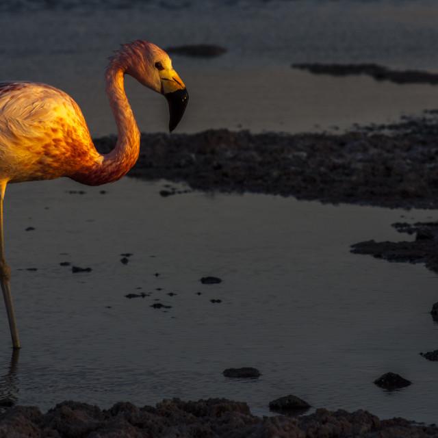 """Andean Flamingo in Salar de Atacama,Laguna Chaxa,Chile"" stock image"