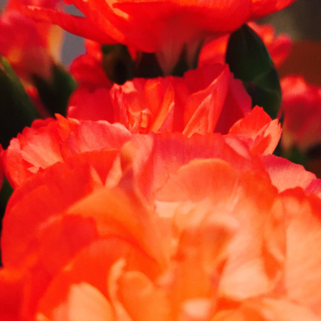 """Close up of carnation"" stock image"