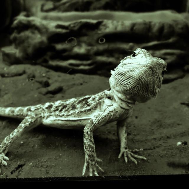 """Belligerent Bearded Dragon Lizard"" stock image"