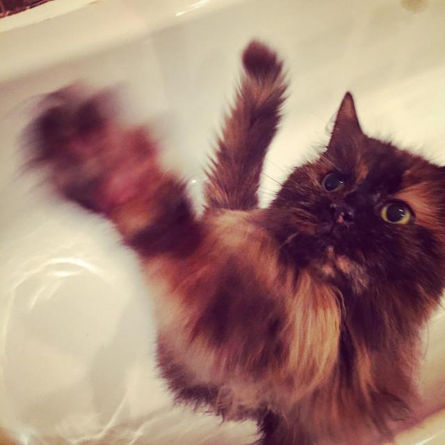 """Cat swiping paw"" stock image"