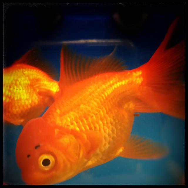"""""""Close-up of goldfish"""" stock image"""