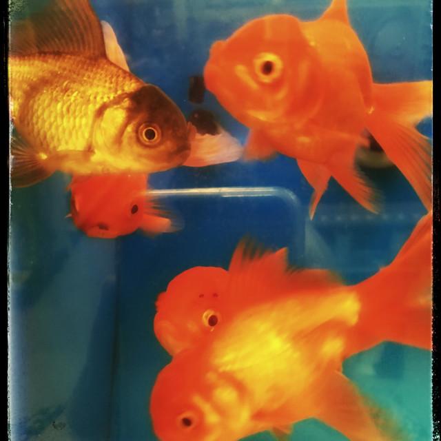 """""""Goldfish in aquarium"""" stock image"""
