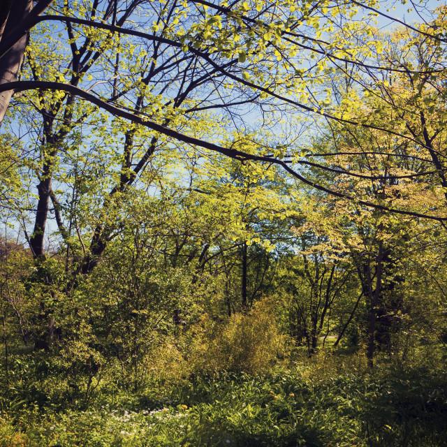 """""""Idyllic woodland"""" stock image"""