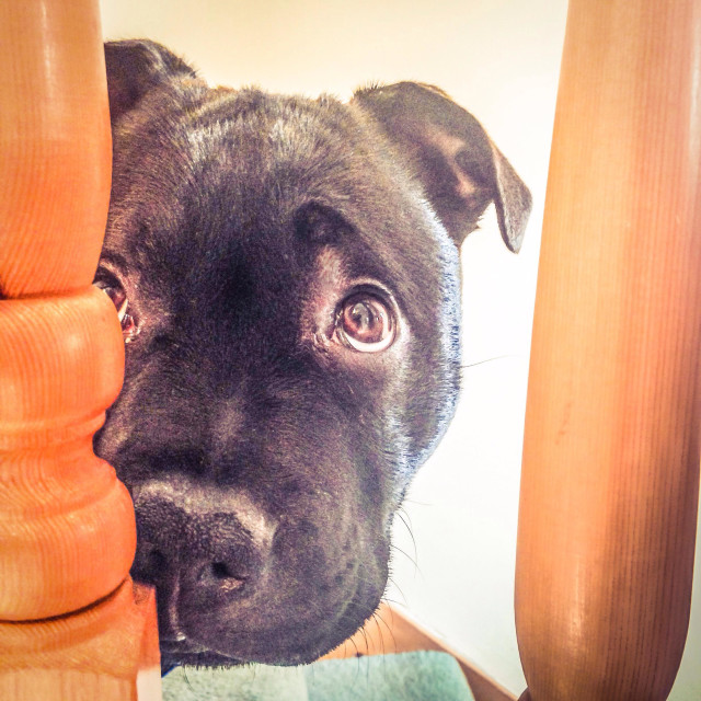 """""""A cute Staffordshire Bull Terrier puppy dog looking through wooden banister rails with big guilty eyes."""" stock image"""