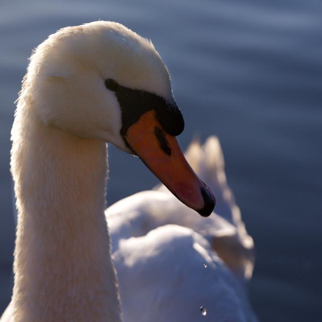 """Swan at Hampton Court"" stock image"