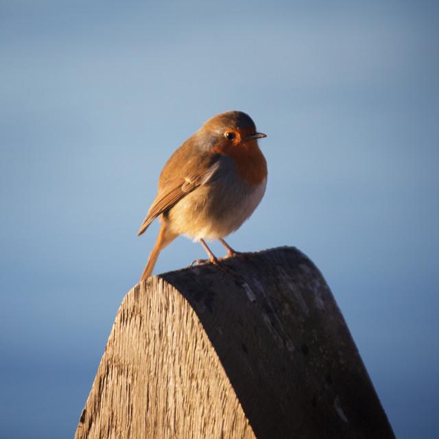 """Winter Robin"" stock image"